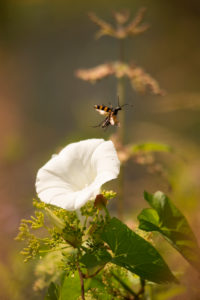 White Ipomoea Flower Insect Natural Nature Background