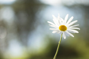 Daisy flower, nature bokeh background