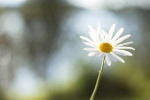 Daisy flower, nature bokeh background
