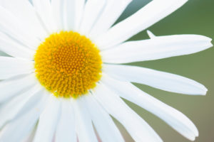 Close-up of Daisy flower, nature green background
