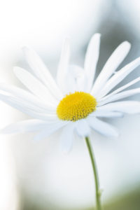 Daisy, Flower, Close-up, Natural, Background