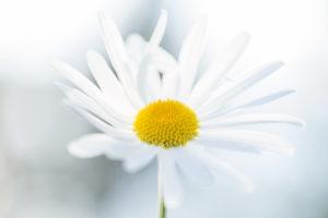 Daisy Flower, closeup, light blue nature background