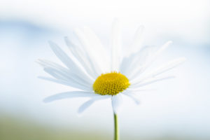 Daisy Flower, close-up, natural outdoor background