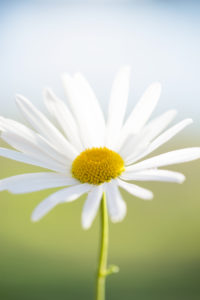 Daisy, flower, close-up, natural background