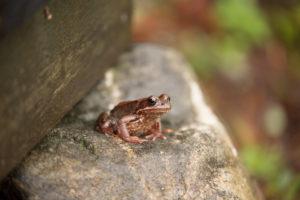 A frog, Rana temporania, sitts on a rock