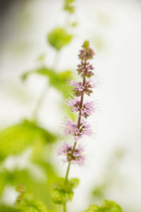 Blooming Mint