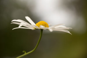 Daisy Flower in Close-up, Natural Bokeh Background, Finland