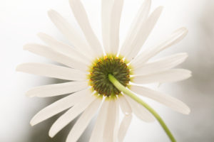 Daisy flower from behind, close-up, nature blurred background, Finland