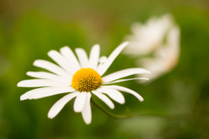 Daisy Flower in Close-up, Nature Blurred Beautiful Background, Finland