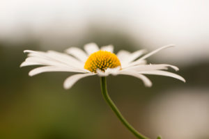 Daisy Flower in Close-up, Nature Blurred Background, Finland