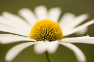 Yellow Centre of Daisy Flower in Close-up, Nature Blurred Green Background, Finland