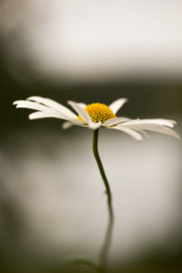 Daisy Flower Close-up Natural Bokeh Background, Finland