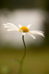 Daisy Flower Close-up Nature Blurred Beautiful Background, Finland