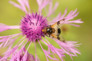 Hoverfly on Thistle, close-up, natural green background, Finland