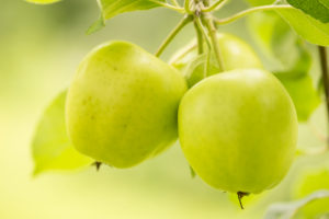 Green apples growing, apple tree branch, natural green background, Finland