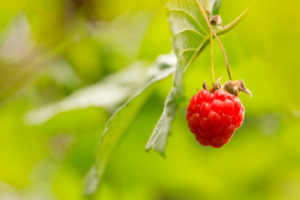 One Red Rasberry hanging in the bush, close-up, natural background, Finland