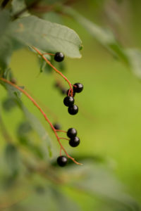 Bird cherry, Prunus padus, hackberry, hagberry, Mayday tree, black berries close-up, natural green background
