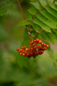 Rowan berries, Sorbus aucuparia, close-up, natural background