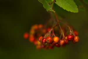 Rowan berries, Sorbus aucuparia, close-up, dark natural background