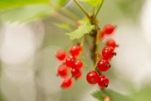 Redcurrant berries (Ribes rubrum) on the bush, natural bokeh background