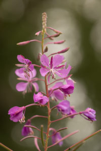 Rosebay Willowherb, Chamaenerion angustifolium close-up, dark bokeh background