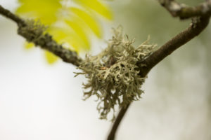 Lichen grows on a rowan branch, close-up