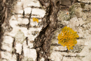 Birch bark with yellow lichen in close-up