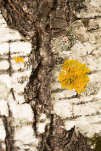 Close-up of Birch bark with yellow lichen