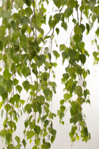 Betula pendula Tristis, delicate hanging branches with green leaves