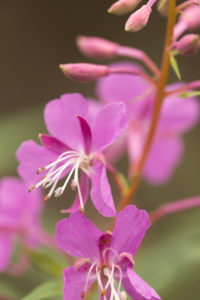 Close-up of Rosebay Willowherb, (Chamaenerion angustifolium) flowers, natural background