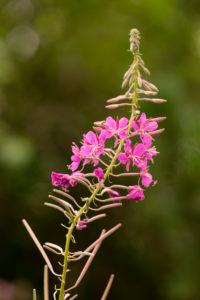 Chamaenerion angustifolium, Rosebay Willowherb, fireweed dark natural bokeh background