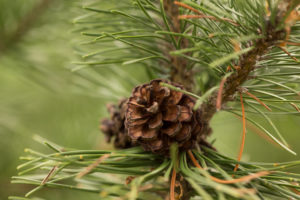 Pine branch with pine cone in close-up