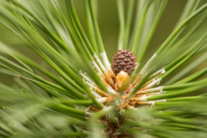 Close-up of pine branch with new small pine cone