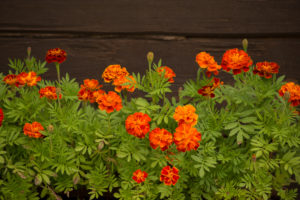Marigold flowers against dark log wall