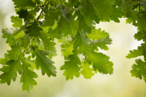 Green leaves of an oak branch, natural bokeh background