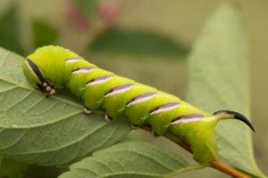 Privet Hawk Moth, Sphinx ligustri, larva, close-up