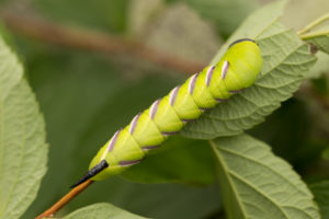 Privet Hawk Moth, Sphinx ligustri, larva