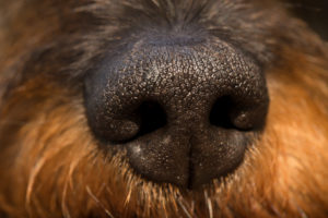 Dog nose close-up, wire-haired dachshund