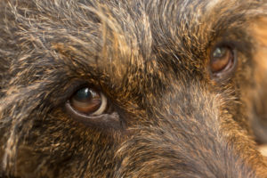 Dog's eyes close-up, gaze, wire-haired dachshund