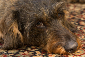 Dog, wire-haired dachshund, close-up