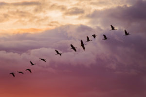 Crane birds in flight, evening, sunset color cloudy sky, Finland