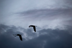Crane birds in flight, evening, dark sky, Finland