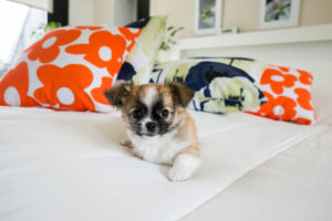 Chihuahua puppy, longhaired on the bed with pillows