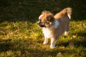 Chihuahua puppy, longhaired, garden, Finland