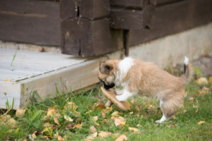 Chihuahua puppy, longhaired, sniff, mushroom, garden, autumnal scene, Finland