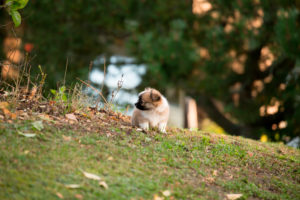 Chihuahua puppy, longhaired, garden, autumnal scene, Finland