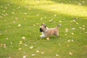 Chihuahua puppy, longhaired, runs on the lawn, autumnal scene, Finland