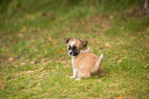 Chihuahua puppy, longhaired, pee, garden, Finland