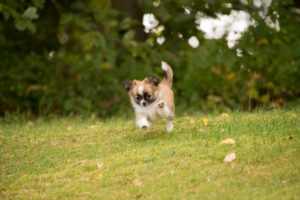 Chihuahua puppy, longhaired, running towards, garden, autumnal scene, Finland