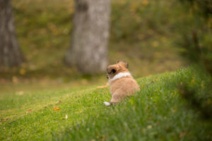 Chihuahua puppy, longhaired, sitting and wondering, garden, autumnal scene, Finland
